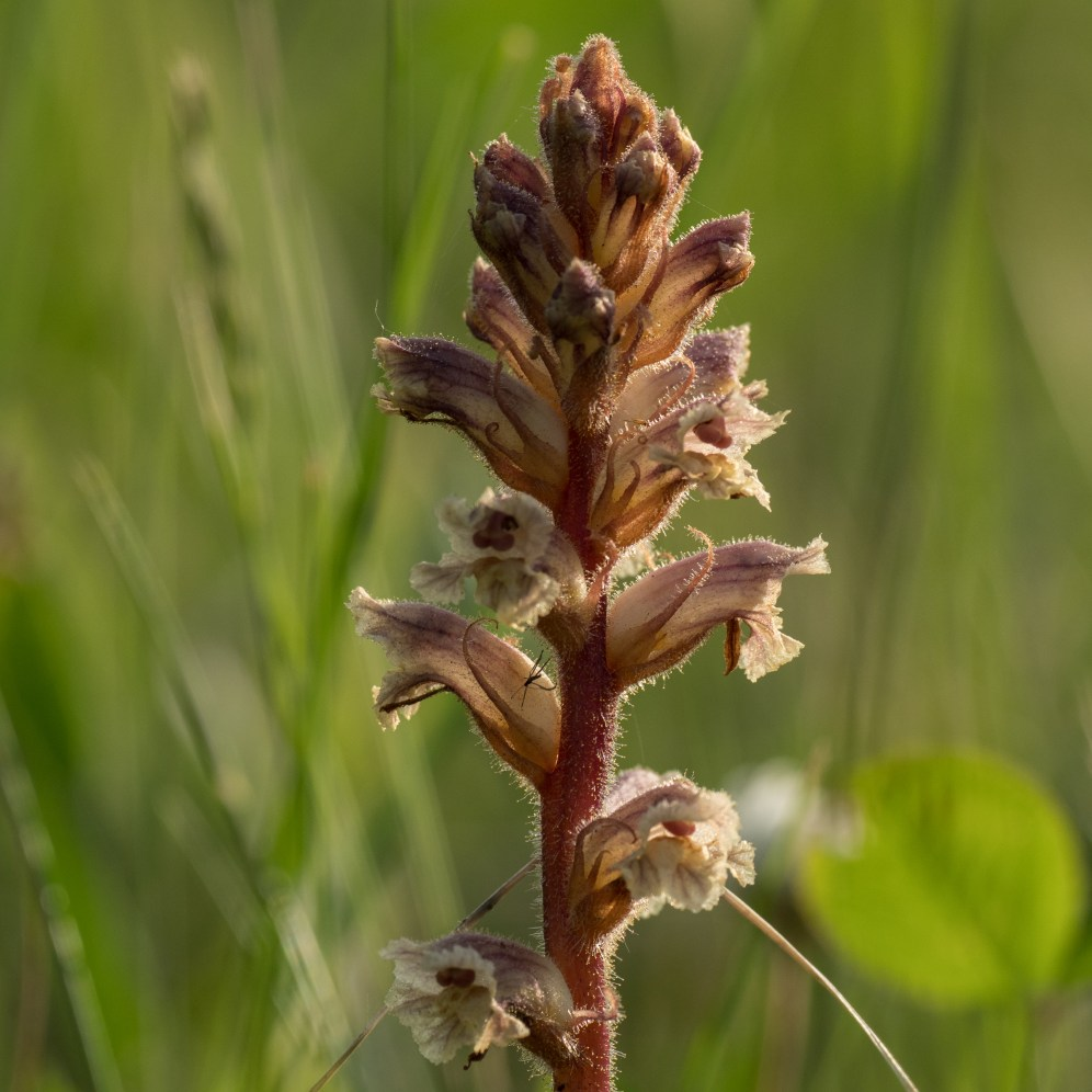 Common broomrape on a mown grass verge