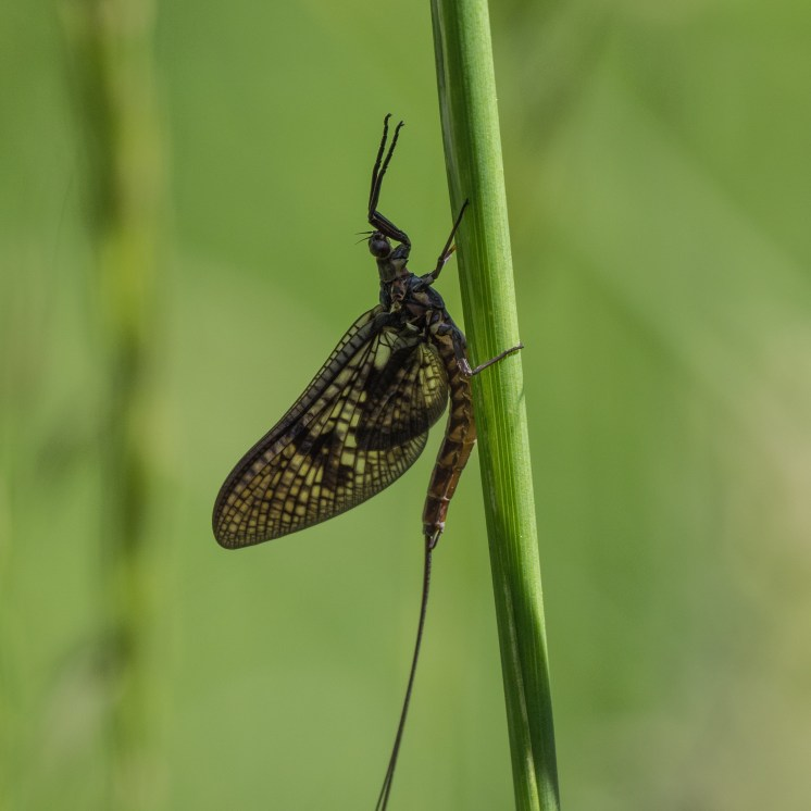 Mayflies emerge from the river and rest on grasses to moult for the last time