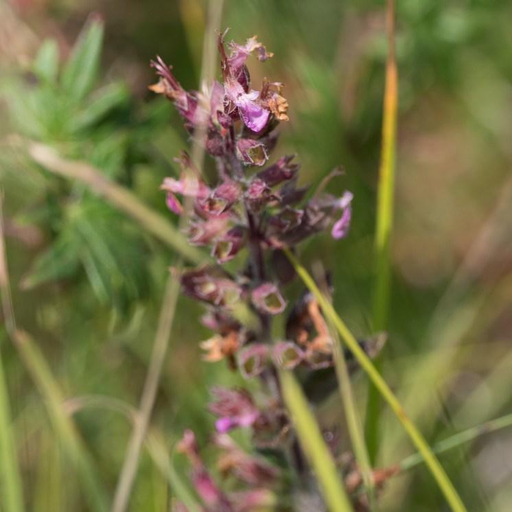 Lousewort species