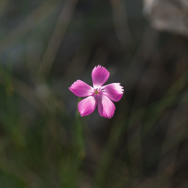 Dianthus carthusianorum was very common across the grasslands