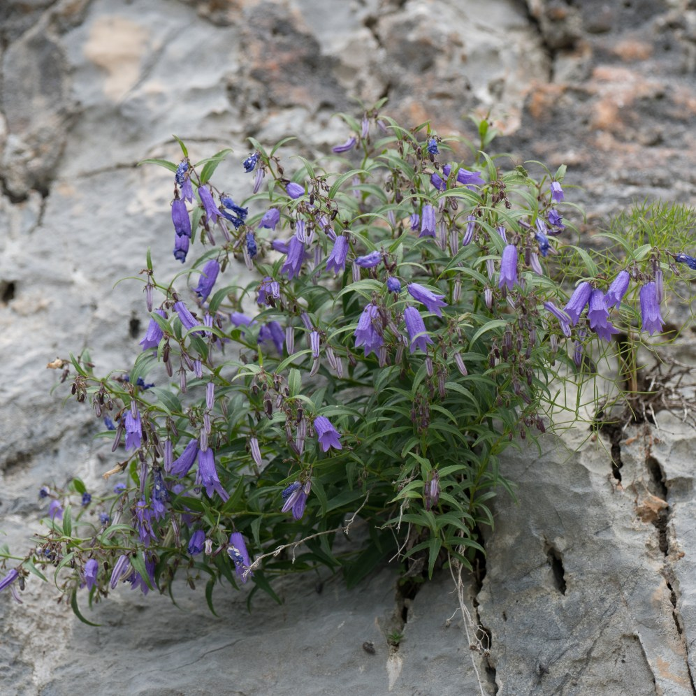 Bellflower species on cliff; possibly Campanula tommassiniana