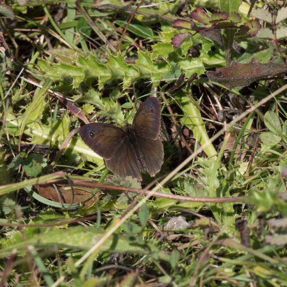Meadow brown on the short turf