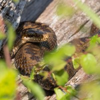 Adders on the down