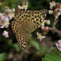 Hatfield Forest's fritillaries