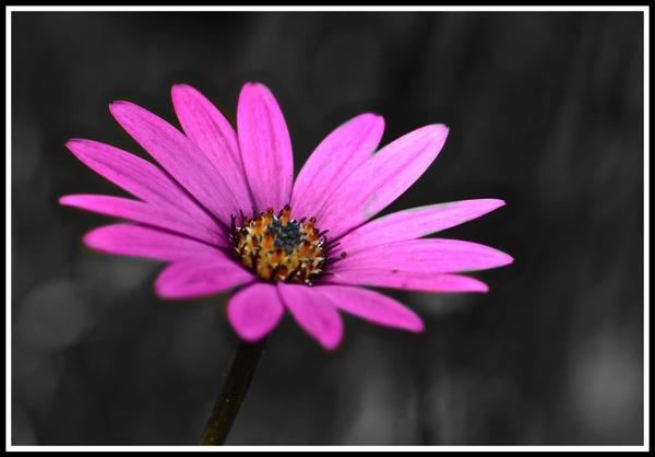 Blue-cloloured-flower-on-a-black-and-white-background.jpg