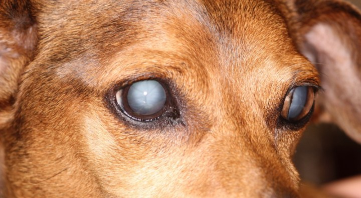 Cure for cataracts without surgery in humans and dogs. Castor oil could save his vision.