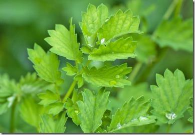 Salad-Burnet
