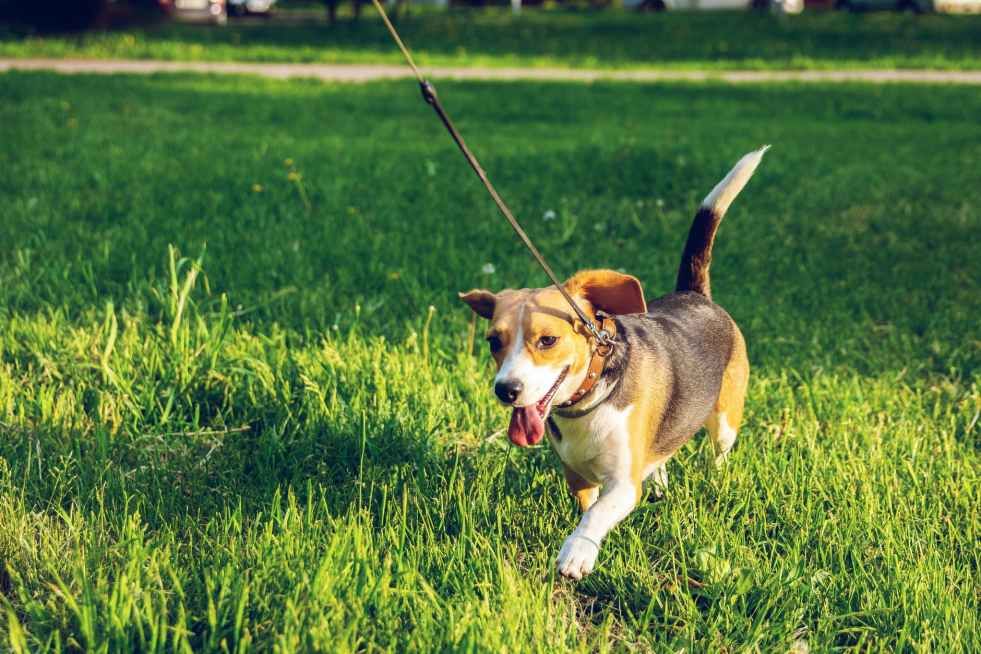 Dog owners are 78% more like to get Coronavirus according to a recent study. #Dogs #Covid19 #CoronaVirus Photo by Artem Beliaikin on Pexels.com brown and black beagle walking on green grass