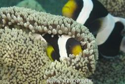 crown fish in his dan