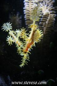 ghostpipe fish in back light