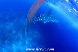 whale shark in maldive