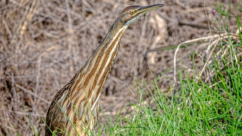 The Call of the American Bittern (VIDEO)