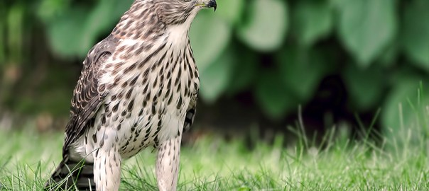 VIDEO: Juvenile Cooper's Hawk Feeding