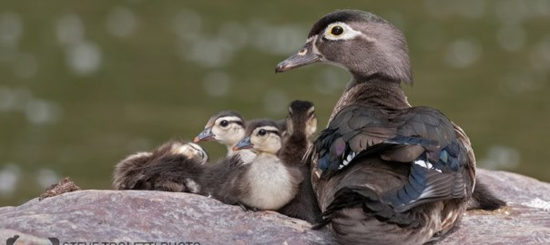 Female Wood Duck and her chicks – video