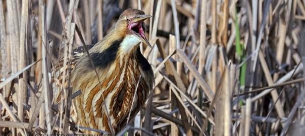 Le Butor D'Amérique fait fureur au Parc-Nature-du-Bois-de-l'île-Bizard