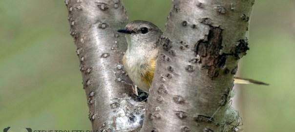 Nest Building American Redstart