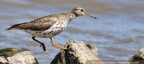 Spotted Sandpiper – Added to the Photo Gallery