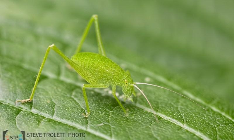Little Green Grasshoppers