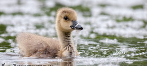 Feeding White Bread to Wild Ducks and Geese is Killing Them