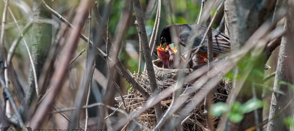 Amarican Robin – Feeding chicks in nest – Video