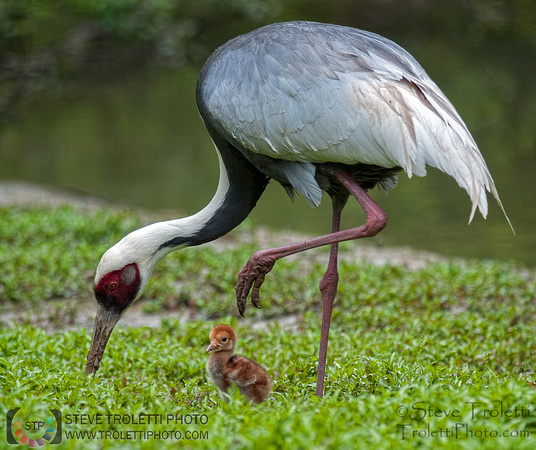 White-naped Crane and chick added to the Photo Gallery