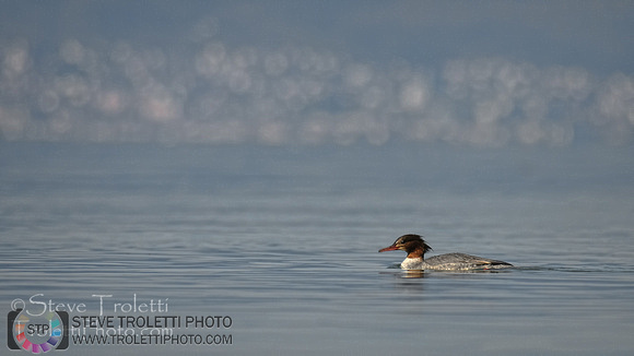 Female Common Merganser in Lake Neuchâtel added to the Photo Gallery
