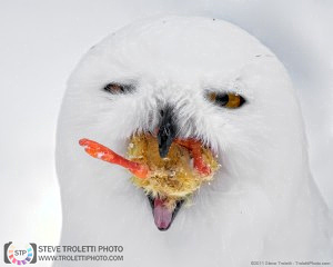 Stop Harassing Exhausted Snowy Owls