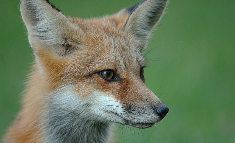 Portrait of a Juvenile Red Fox added to the Photo Gallery