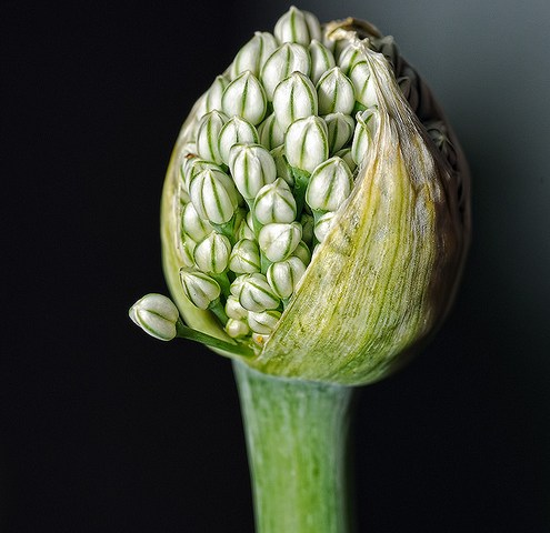 Welsh onion about to flower…
