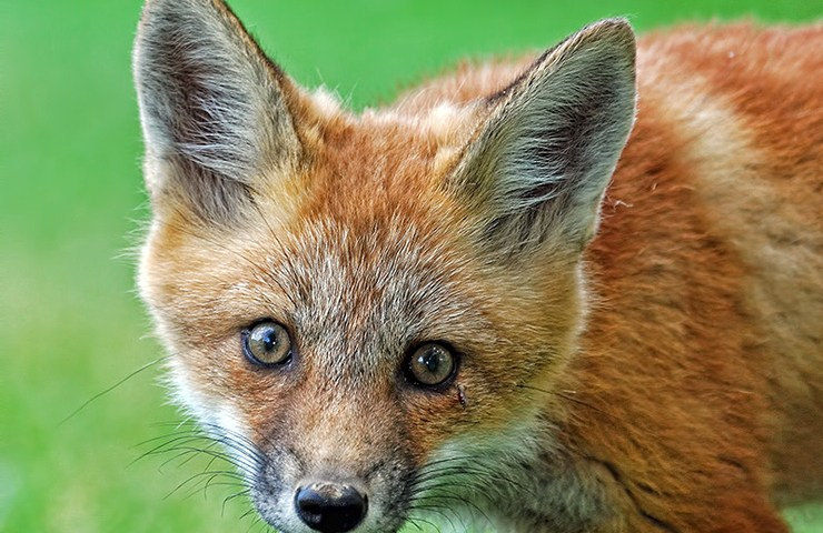Red Fox Kit With Blood Swollen Mosquito Under Left Eye