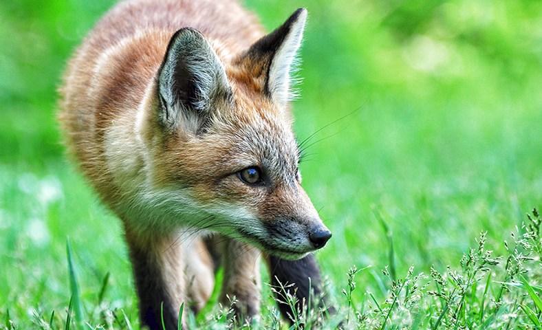 Red Fox Kit / Renardeau / Vulpes vulpes
