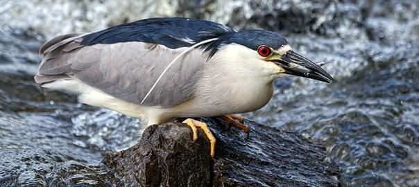 Black-crowned Night Heron – Bihoreau gris