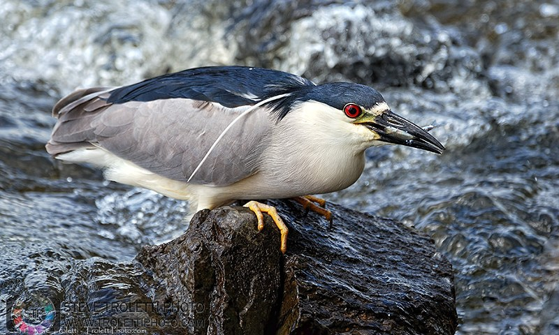 Black-crowned Night Heron – Bihoreau gris