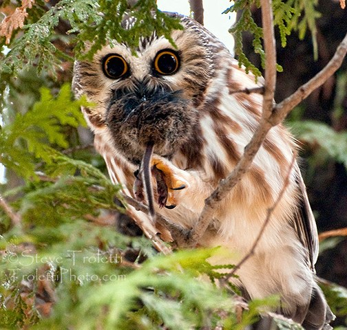 Northern Saw-whet Owl with Prey – Petite nyctale avec Proie