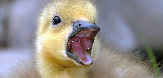 Attack of the Canada Goose Chick!