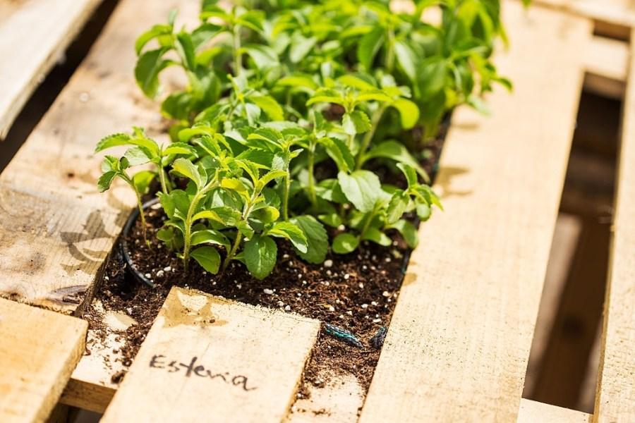 Nursery of stevia plant