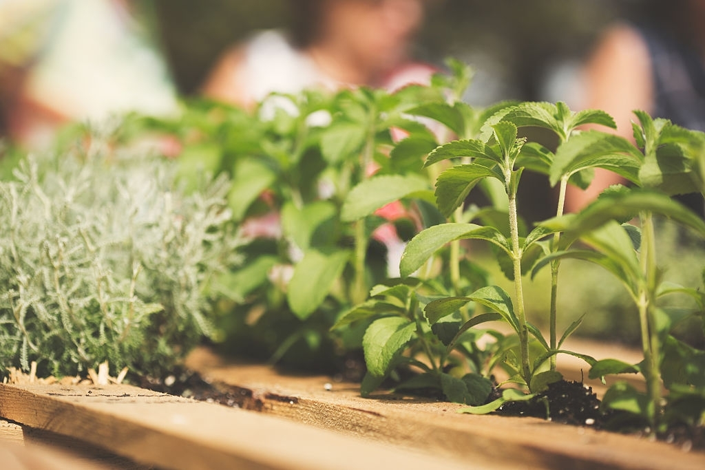 How to protect stevia plant?