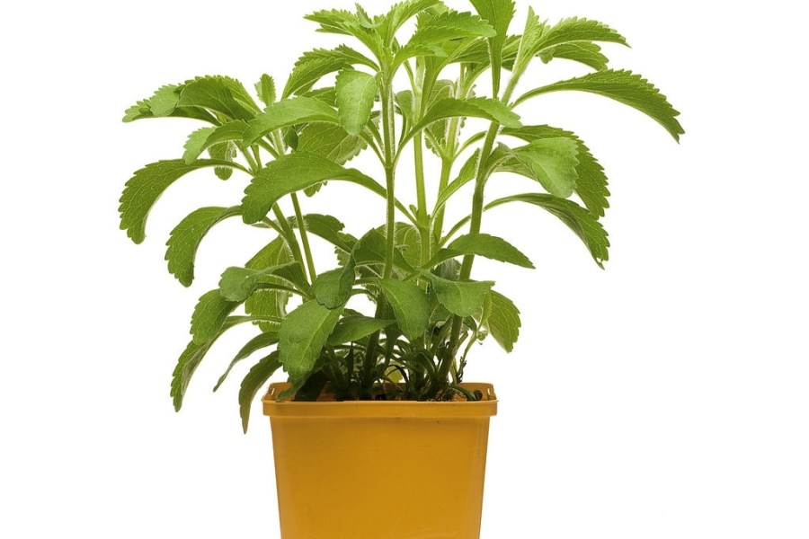 How to grow stevia plant in pot