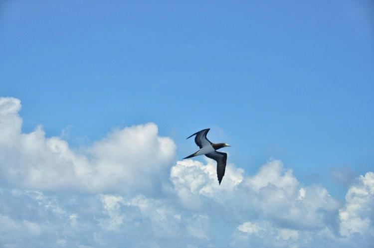photo of a booby bird in the caribbean sea