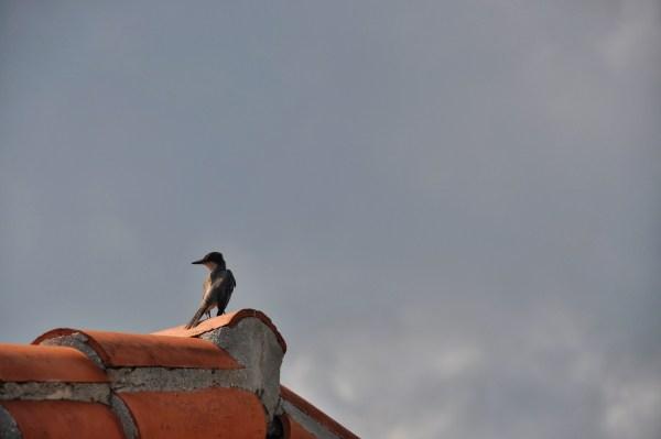 Photo of a bird in Cabo San Antonio Cuba