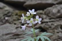 Dentaria (Toothwort) 2