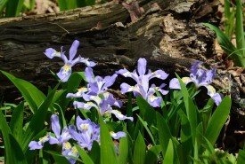 Dwarf Crested Iris at SNR