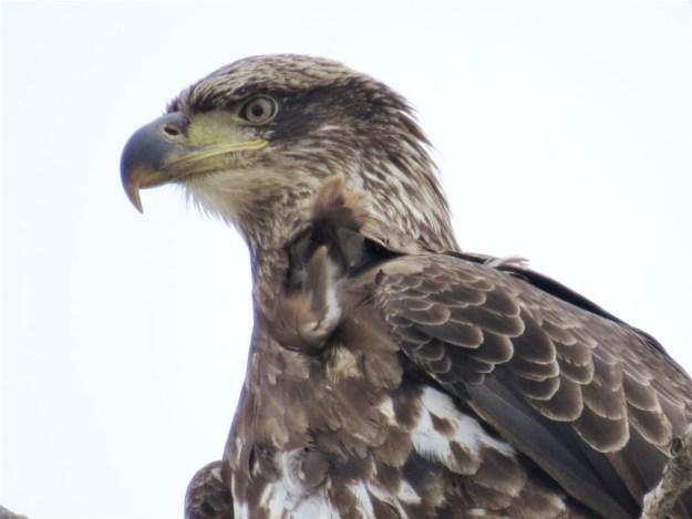 Juvenile Bald Eagle by Connie Zink 2