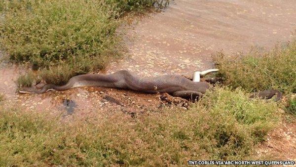 snake after eating crocodile