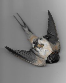 Scan of found dead Swallow