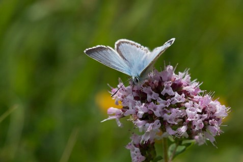 Chalkhill Blue butterfly drinking nectar from a pink flower