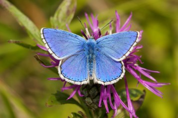 Chalkhill Blue butterfly on a bright pink flower