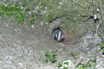 Badger at Sett