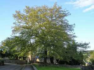 The Turkey Oak