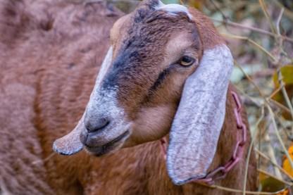 kudzu-goats-5338-edit